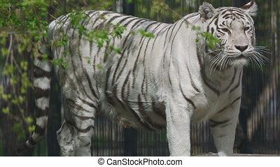 Gorgeous white tigress walking on the open-air cage.
