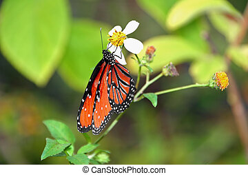 monarch butterfly - beautiful orange monarch butterfly on...