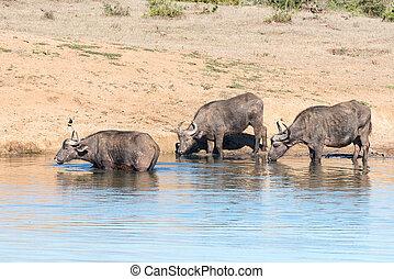 Trois, africaine, buffles, boire,