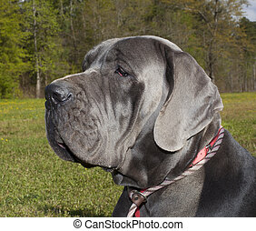 Purebred dog - Great Dane with a gray coat on a grassy field