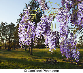 Wisteria - Purple flowers on wisteria just before the sunset...