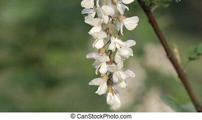Acacia flowers on tree