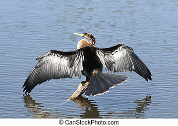 Anhinga On A Perch - Anhinga drying its wings on a perch...
