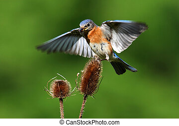 Bluebird In Flight - Eastern Bluebird (Sialia sialis)...