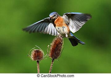 Bluebird In Flight - Eastern Bluebird (Sialia sialis)...