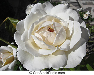 Single white rose flower in spring