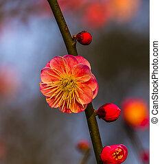 Plum Blossom West Lake Hangzhou Jiangsu China - Plum Blossom...