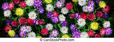 Asters - Freshness flowers asters on blured background...