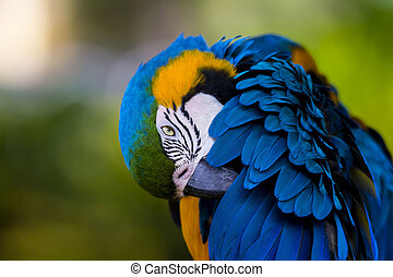 Gold and Blue Macaw Grooming