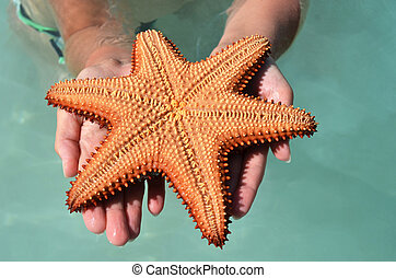 Caribbean starfish in the hands