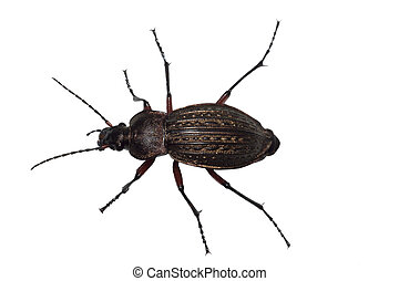 Ground beetle Carabus granulatus isolated on white...