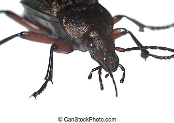 Ground beetle Carabus granulatus extreme closeup isolated on...