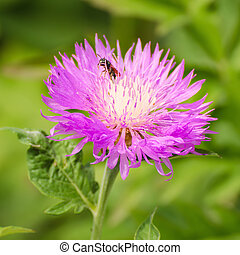 Aster violet flower growing in the garden, natural outdoor...