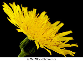 Closeup yellow poisonous wildflower on black as sonchus...