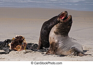 Sea Lions fighting on Sandfly Bay in New Zealand