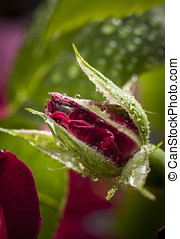 Water drop covered rose bud.