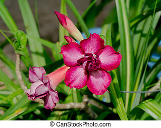 Adenium, obesum, (Desert, Rose;, impala, Lily;, beffare,...