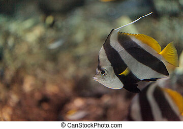 Pennant Butterflyfish Heniochus acuminatus has black and...
