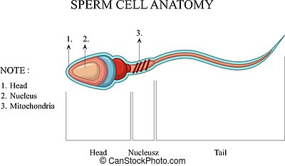 Human Sperm cell Anatomy - vector illustration of Human...