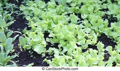 fresh garden greens - spincahe, lettuce, greens sprouting in...
