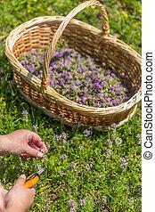 Hand cut oregano, wildflower in wicker basket