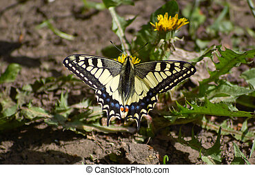 Butterfly feeding on flowers of dandelion.