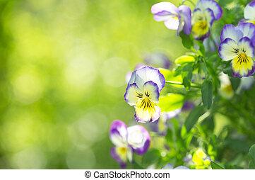viola flowers on green background - various viola flowers on...