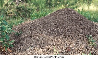 Forest Anthill Live - Daytime shot of forest anthill with...