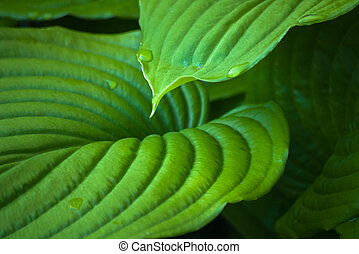 Floral background with large leaves of Hosta - Floral...
