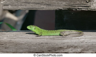Sand Lizard Rest In Nature - Sand Lizard, Lacerta Agilis...