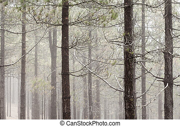 natural background of Canarian Pine tree trunks, some mist