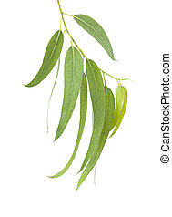 fresh eucalyptus leaves - fresh green eucalyptus leaves...