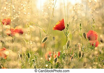 Poppy in the field at dawn