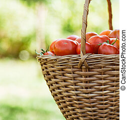 Tomato harvest. Farmers hands with freshly harvested...