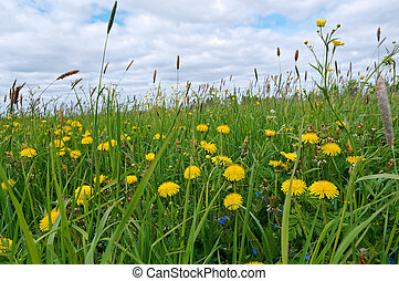 meadow with dandelions and Timothy-grass - Russian meadow...