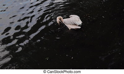Great white pelican (Pelecanus onocrotalus) also known as...