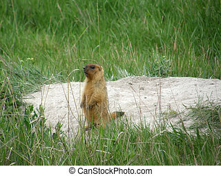 steppa, marmotta