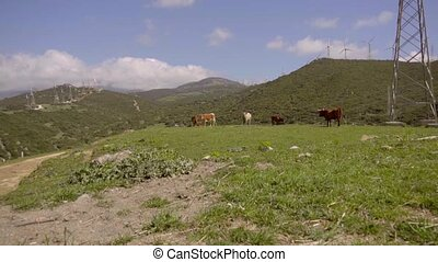 View of cattle grazing on hill near wind turbines -...