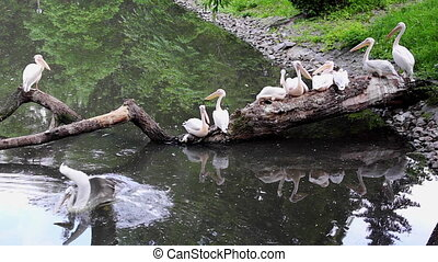Great white pelicans - Great white pelican Pelecanus...