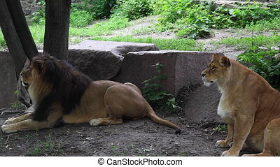 lion and lioness. - lion and lioness under the tree