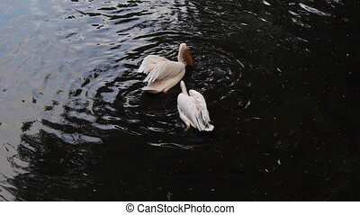 Great white pelican Pelecanus onocrotalus also known as the...