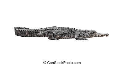 Crocodilo, isolado, ligado, white.,