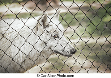 White wolf in cage. - White wolf in a cage staring at...