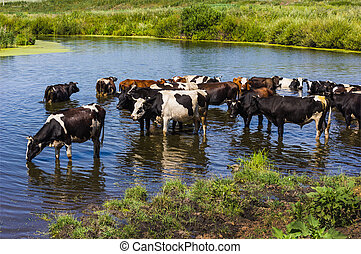 Cows wade cross the river in the countryside