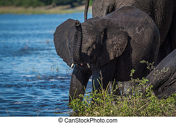 Baby elephant with raised trunk on riverbank