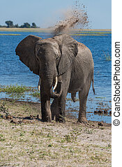 Elephant throwing dust over head beside river
