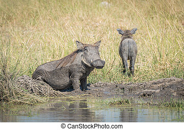 Baby warthog leaving mother wallowing in mud