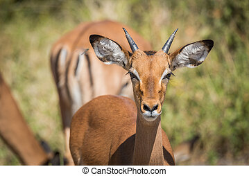 Close-up of young male impala head on