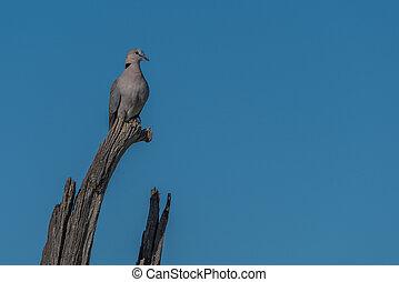 Cape turtle dove on dead tree branch