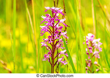 military orchid, wildflower in Germany